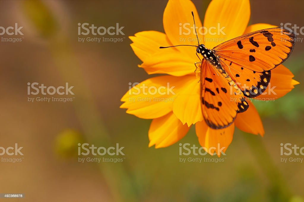 Orange butterfly on corolla for background stock photo