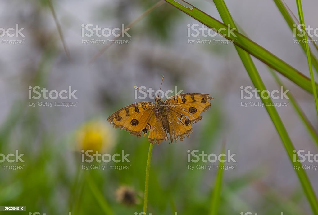 Orange butterfly on field, Laos stock photo
