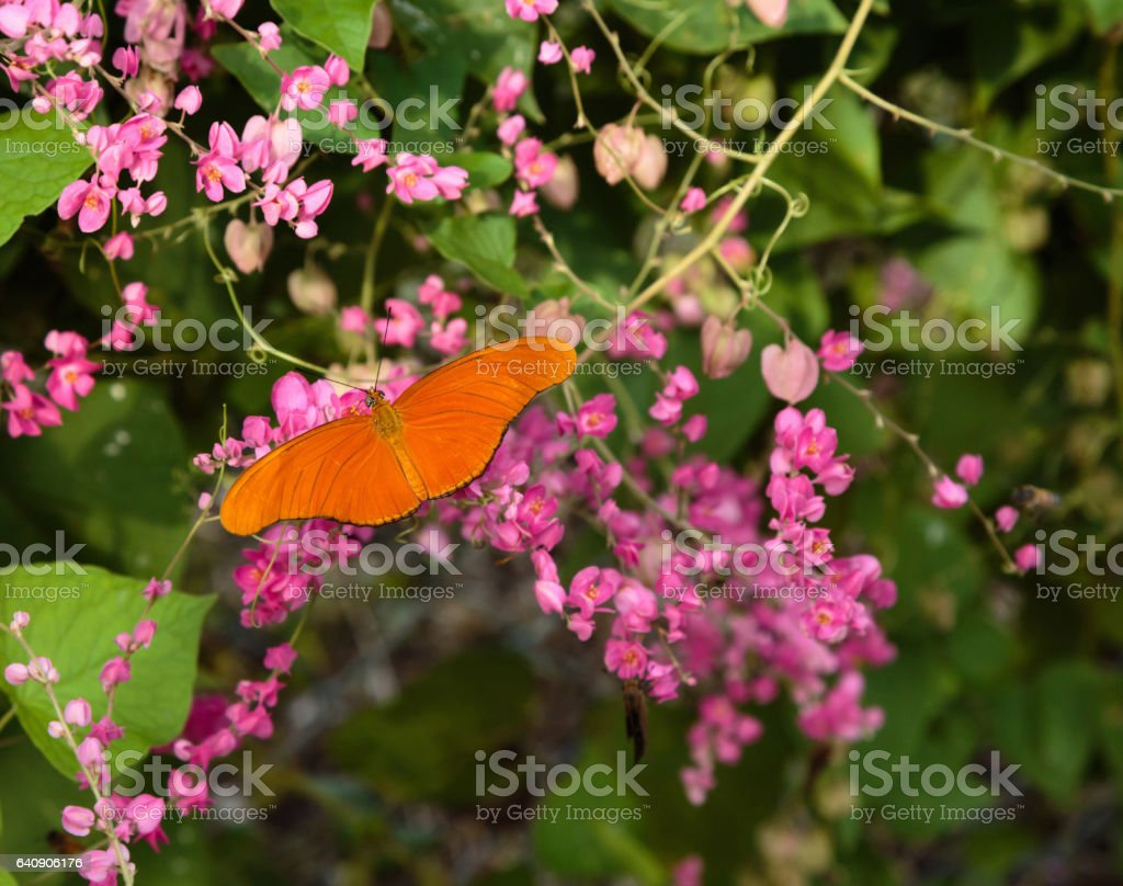 Orange Butterfly on Pink Flowers stock photo