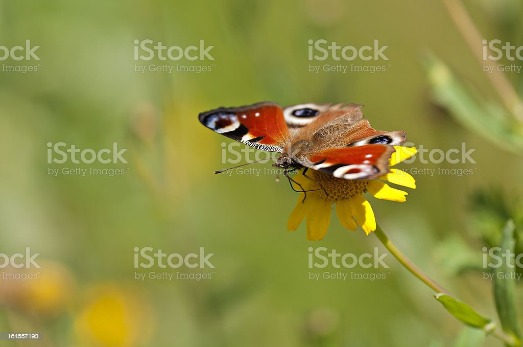 Orange Butterfly royalty-free stock photo
