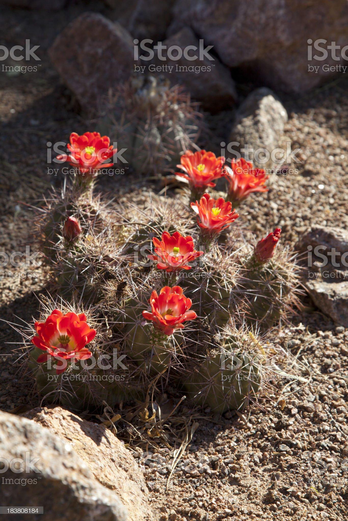Orange Cactus FLowers in Spring royalty-free stock photo