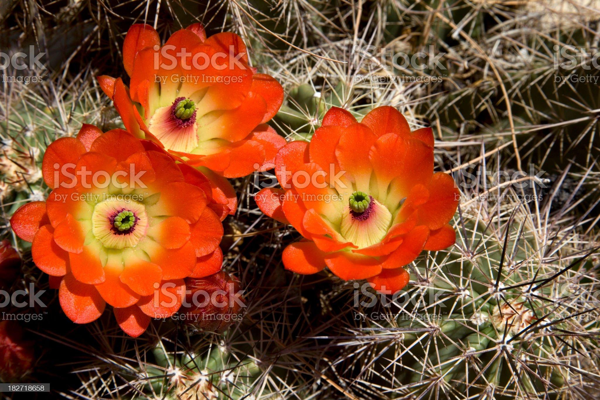 Orange Cactus Flowers royalty-free stock photo