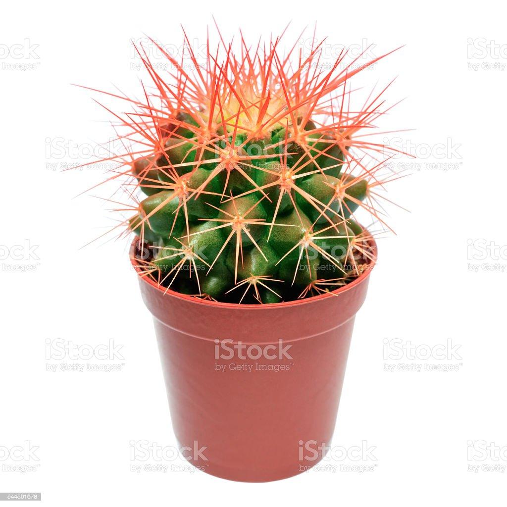 Orange cactus in flowerpot stock photo