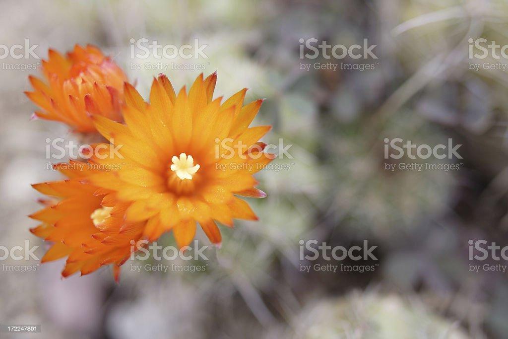 orange cactus royalty-free stock photo