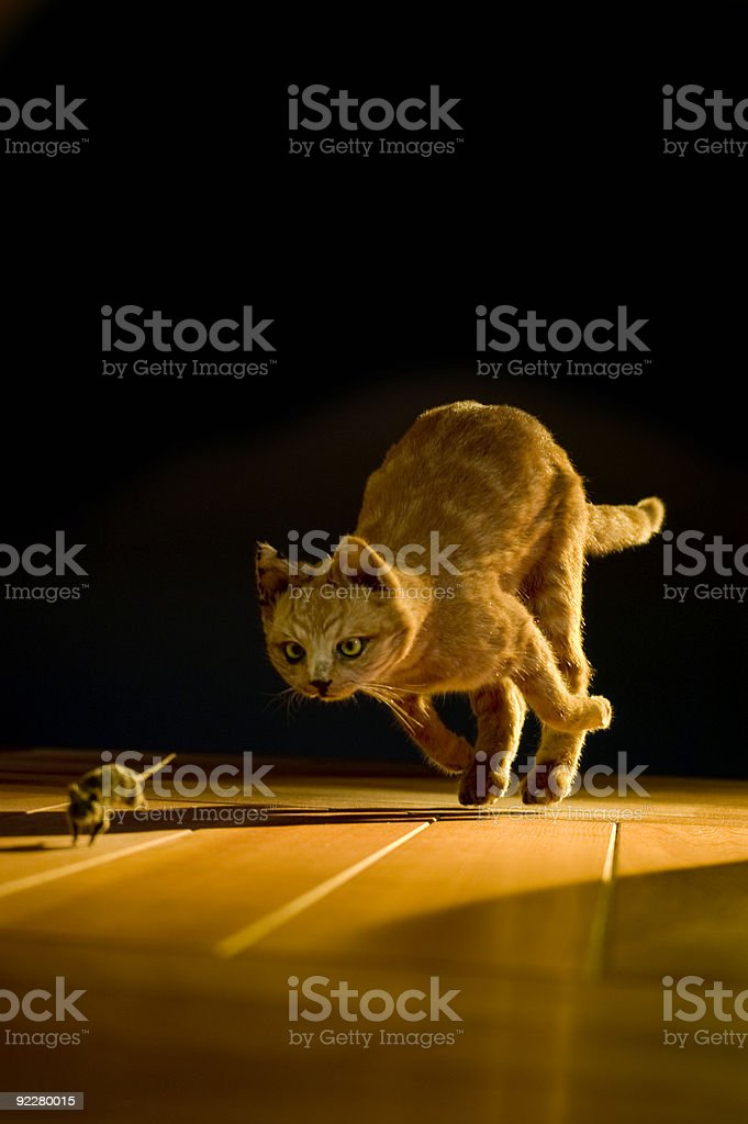 Orange Cat chasing a mouse on a hardwood floor stock photo