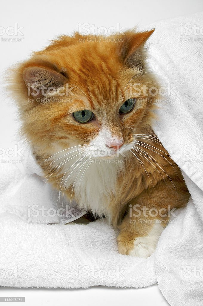 Orange cat hiding under towel (Blue 02) royalty-free stock photo
