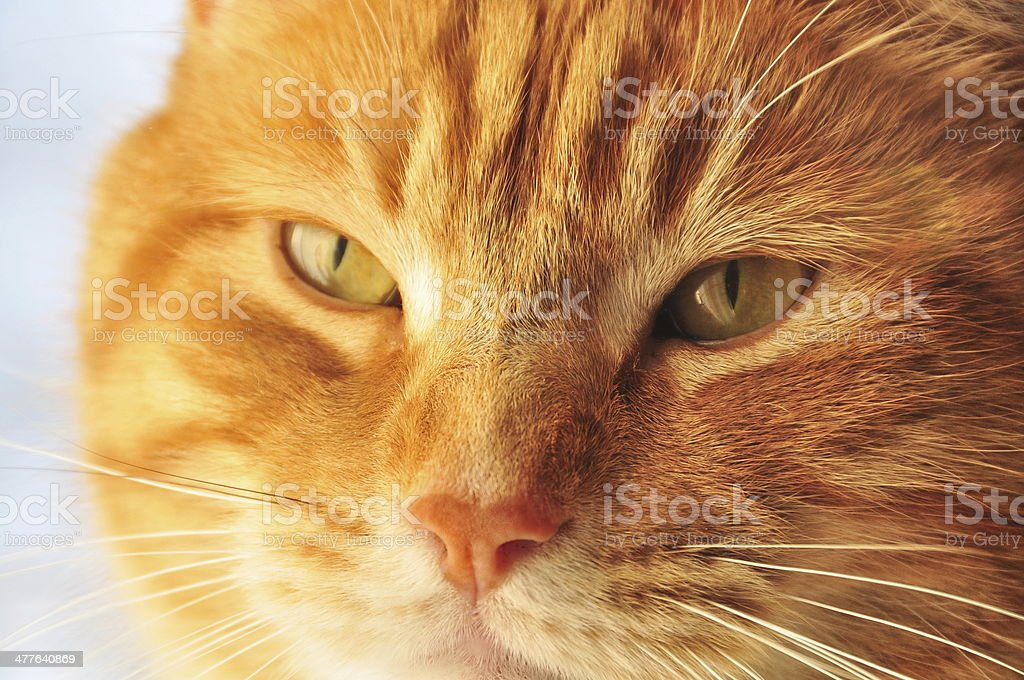 orange cat looking through window royalty-free stock photo