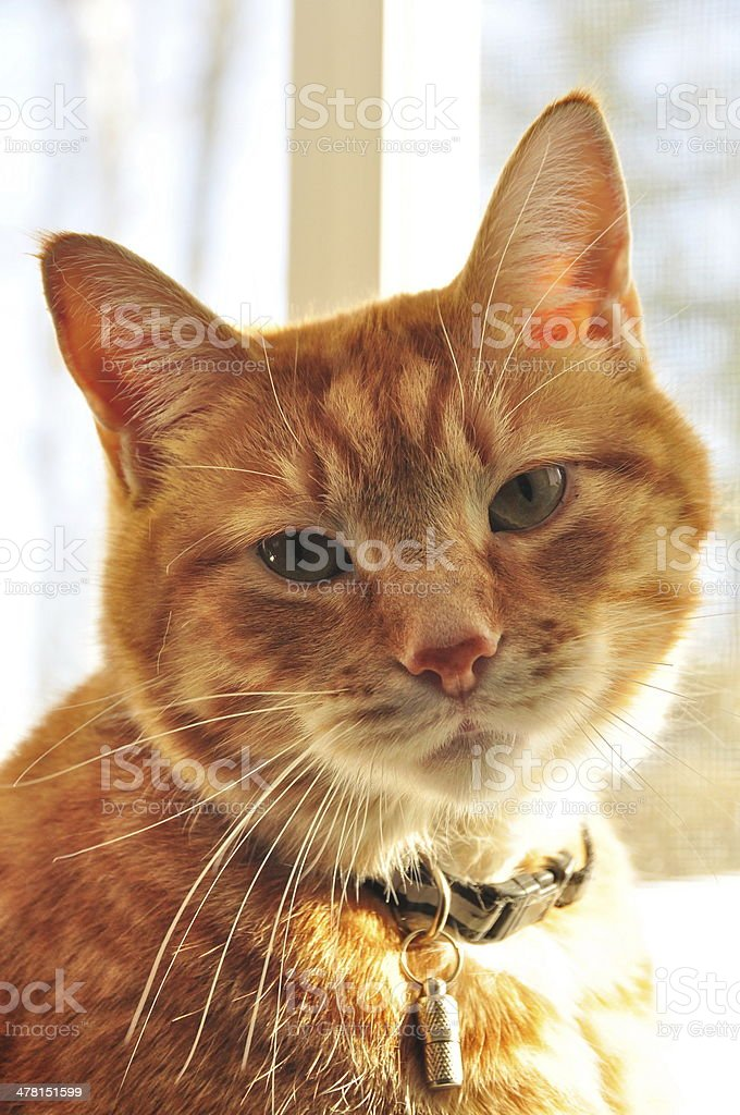 orange cat looking through window stock photo