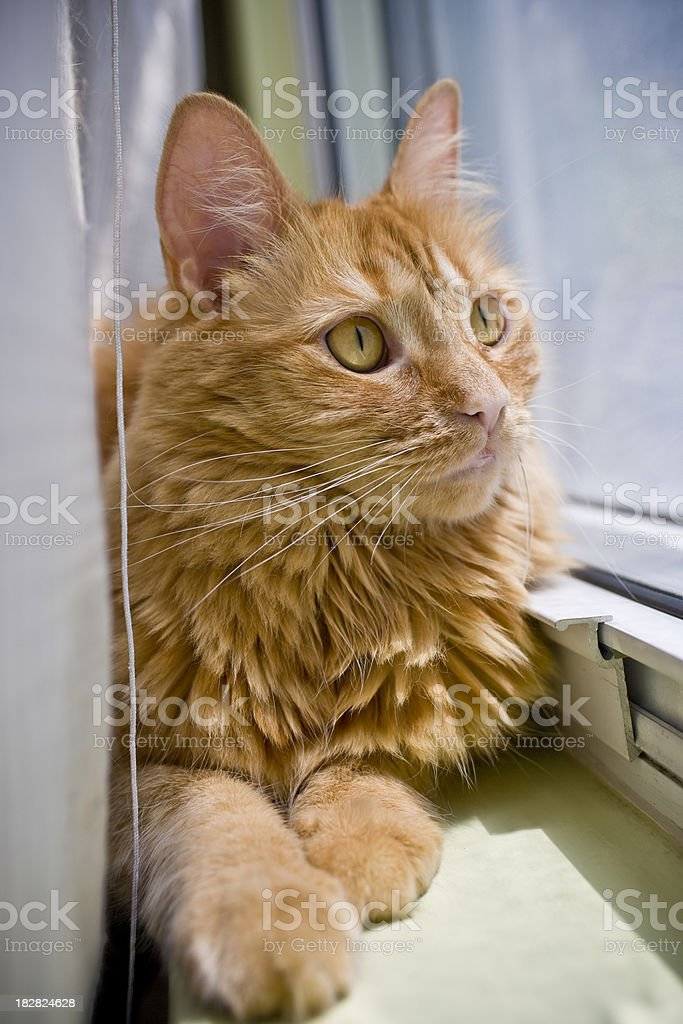 Orange Cat Lying Down and Looking Out the Window royalty-free stock photo