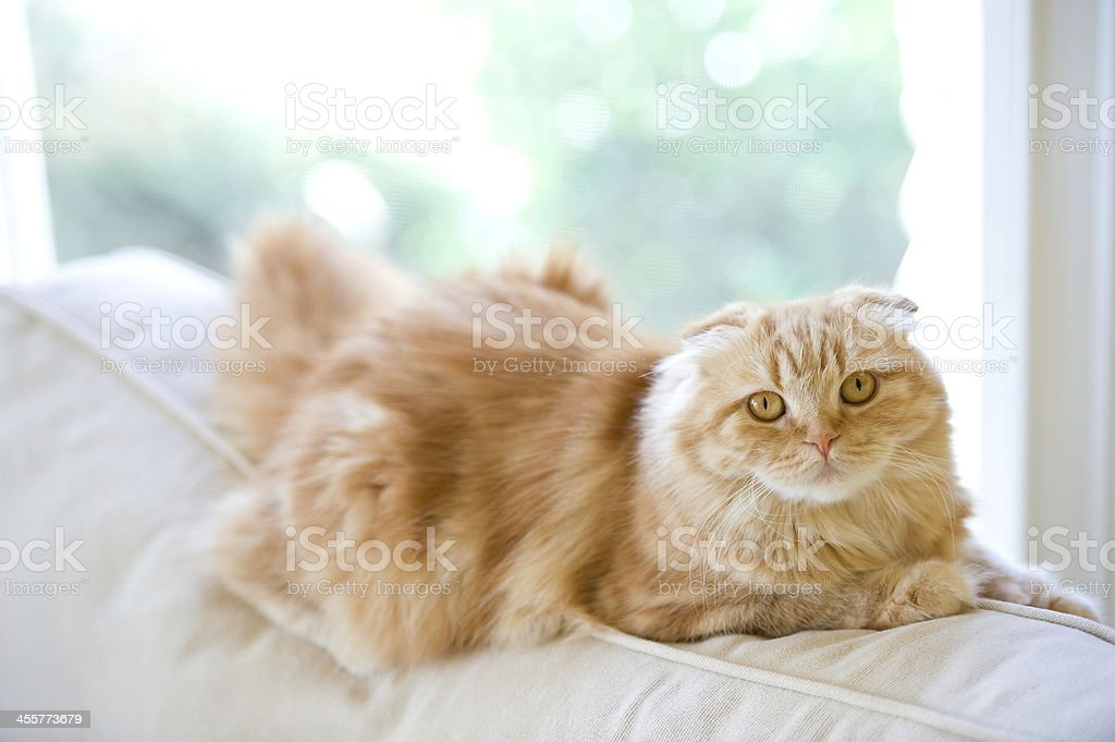 Orange Cat On A White Couch stock photo