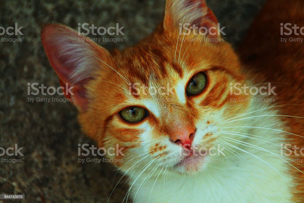 Orange Cat stock photo