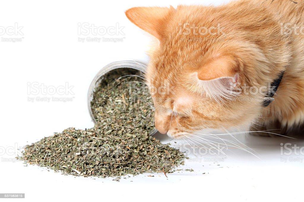 Orange cat sniffing dried catnip stock photo
