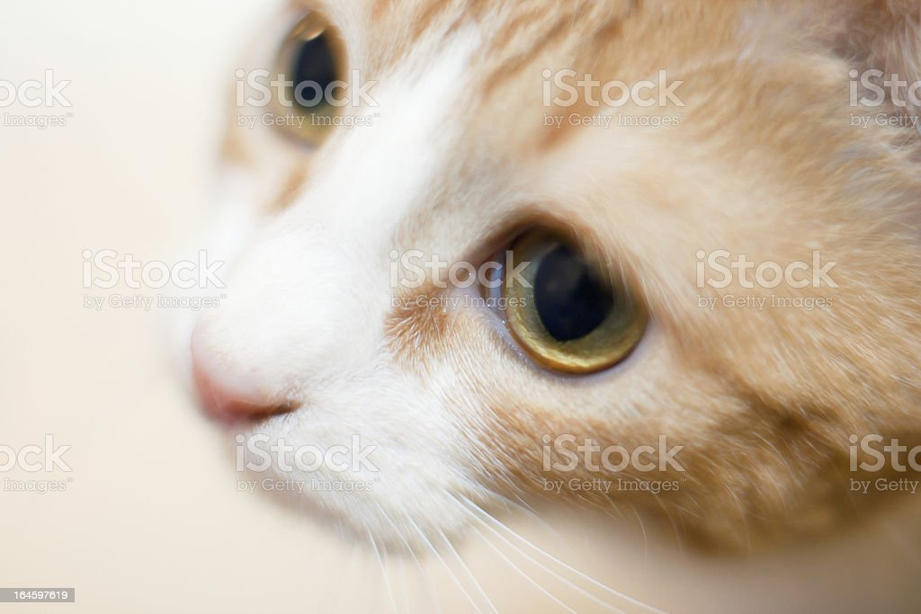 Orange cat with white face close-up royalty-free stock photo