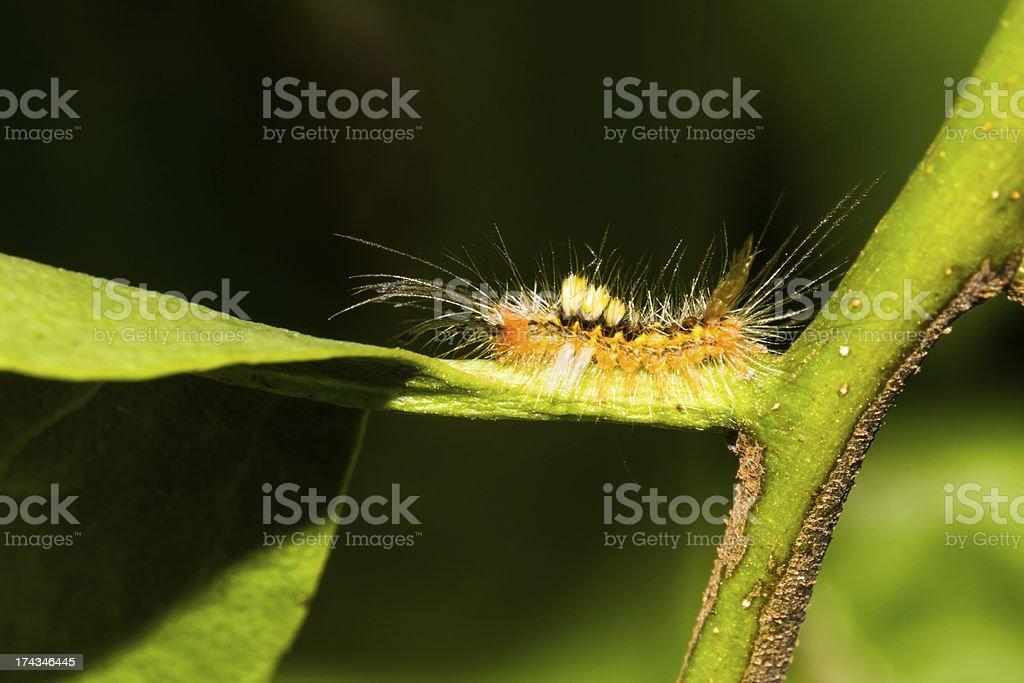 Orange caterpillar moth royalty-free stock photo