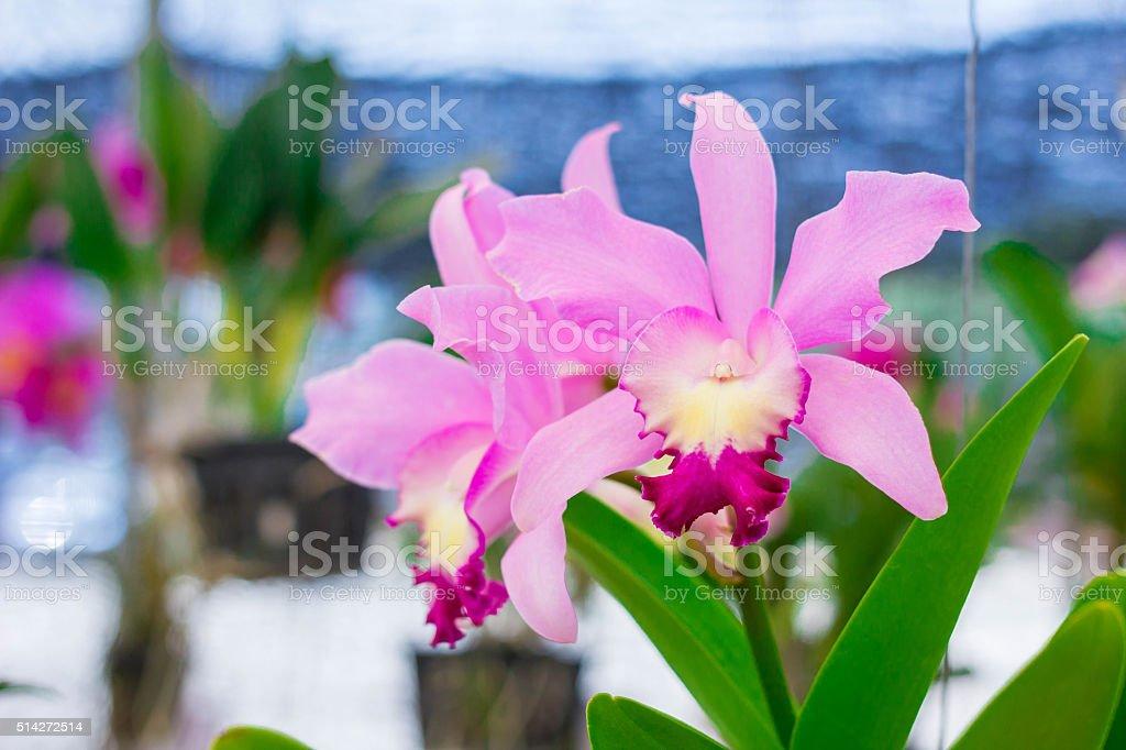 Orange Cattleya orchid flower blooms in summer. stock photo