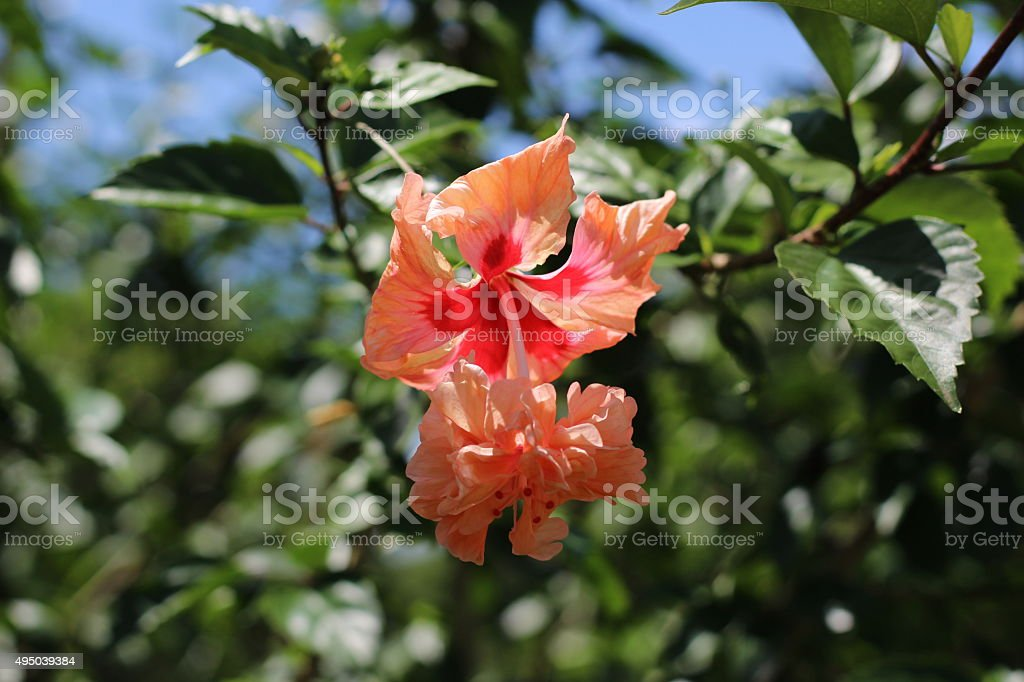 Orange chaba stock photo