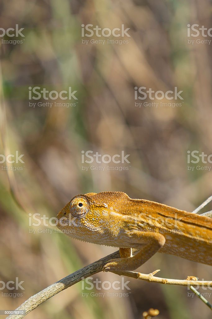 Orange Chameleon close up in Madagascar stock photo