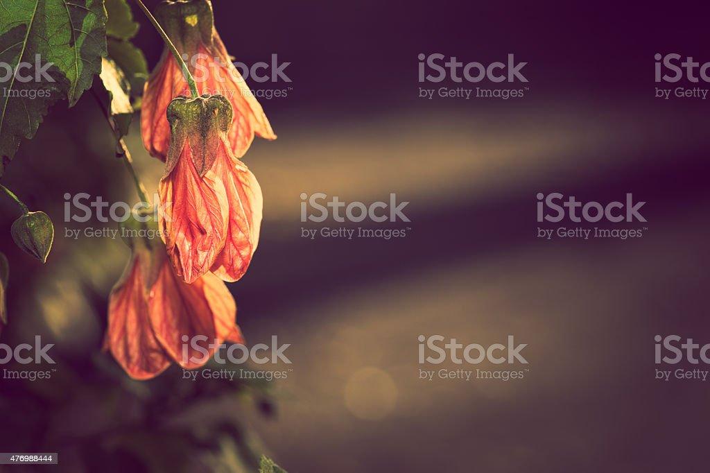 Orange Chinese Lantern stock photo