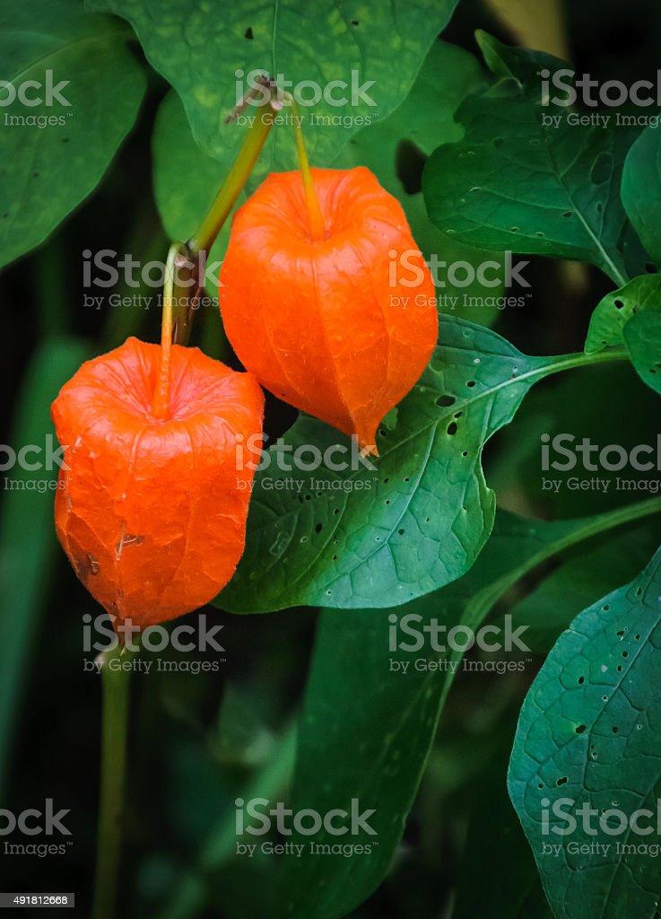 Orange Chinese Lantern Pods stock photo