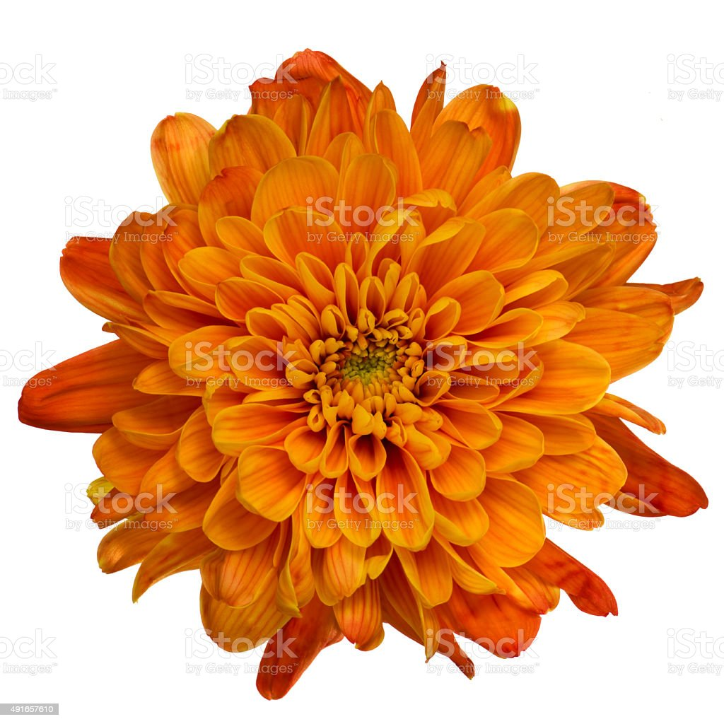 Orange chrysanthemum isolated stock photo