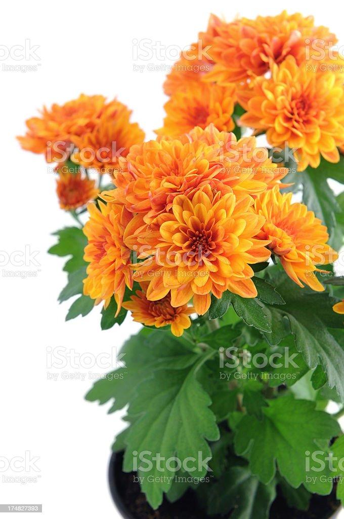 Orange Chrysanthemums stock photo