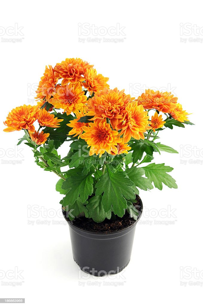 Orange Chrysanthemums stock photo