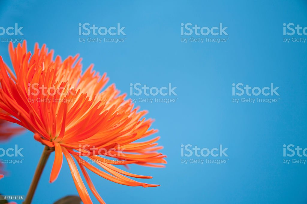Orange chyrsanthemum flower on blue background. stock photo