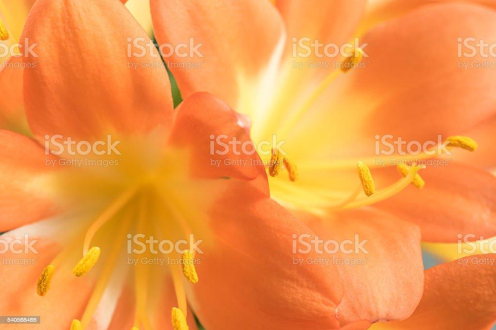 Orange Clivia amaryllis flower stock photo