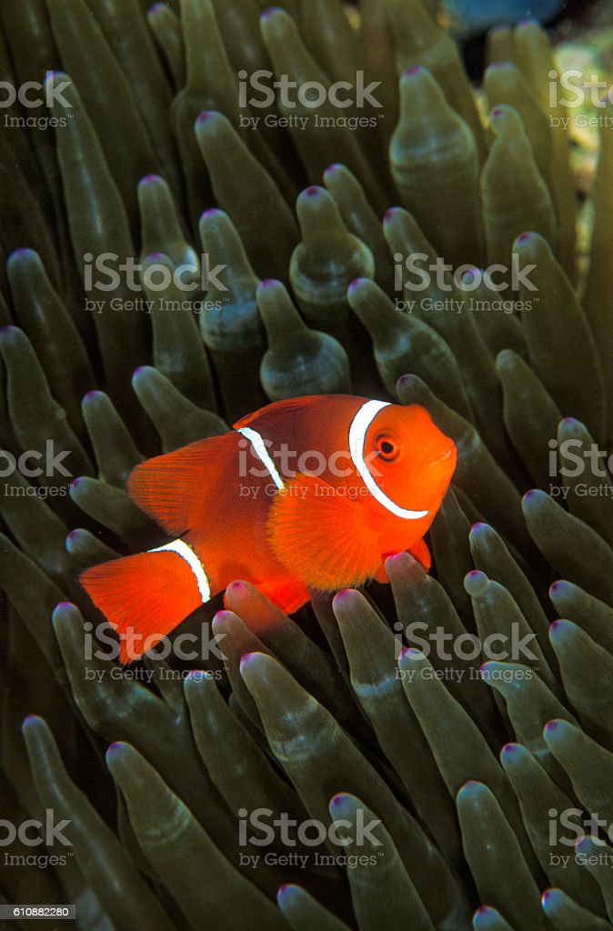 Orange clown fish within a green anemone stock photo