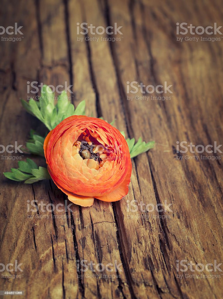 Orange color ranunculus on  old wooden background stock photo