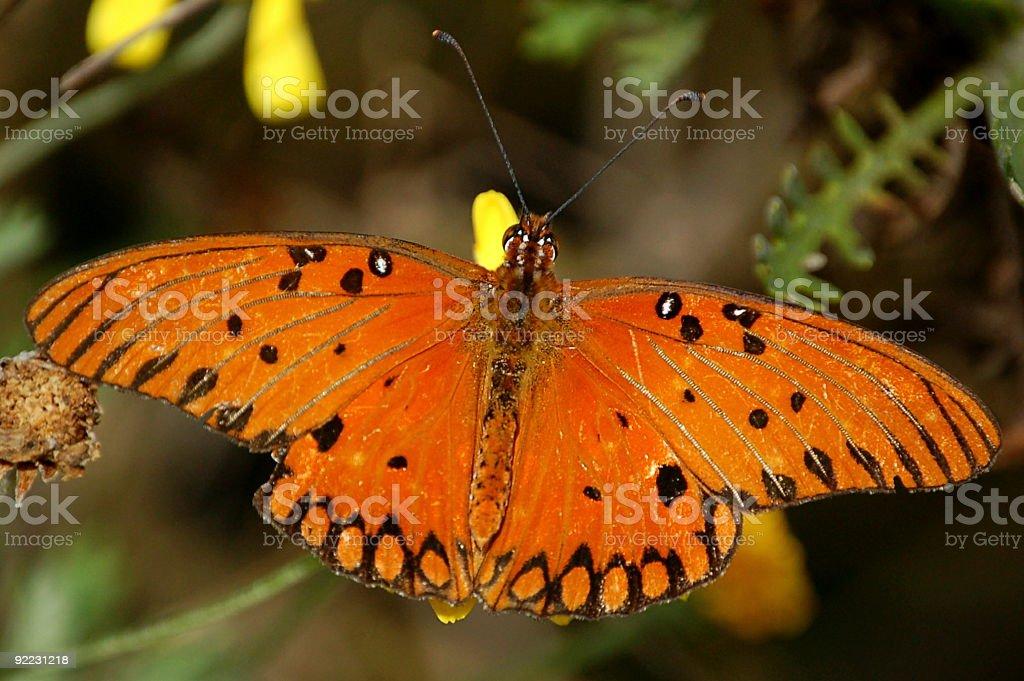 Kolorowe pomarańczowy Motyl zbiór zdjęć royalty-free
