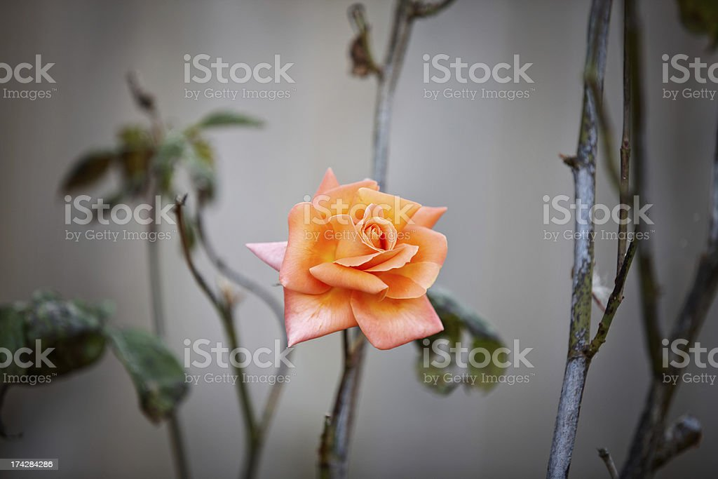 Orange coloured rose royalty-free stock photo