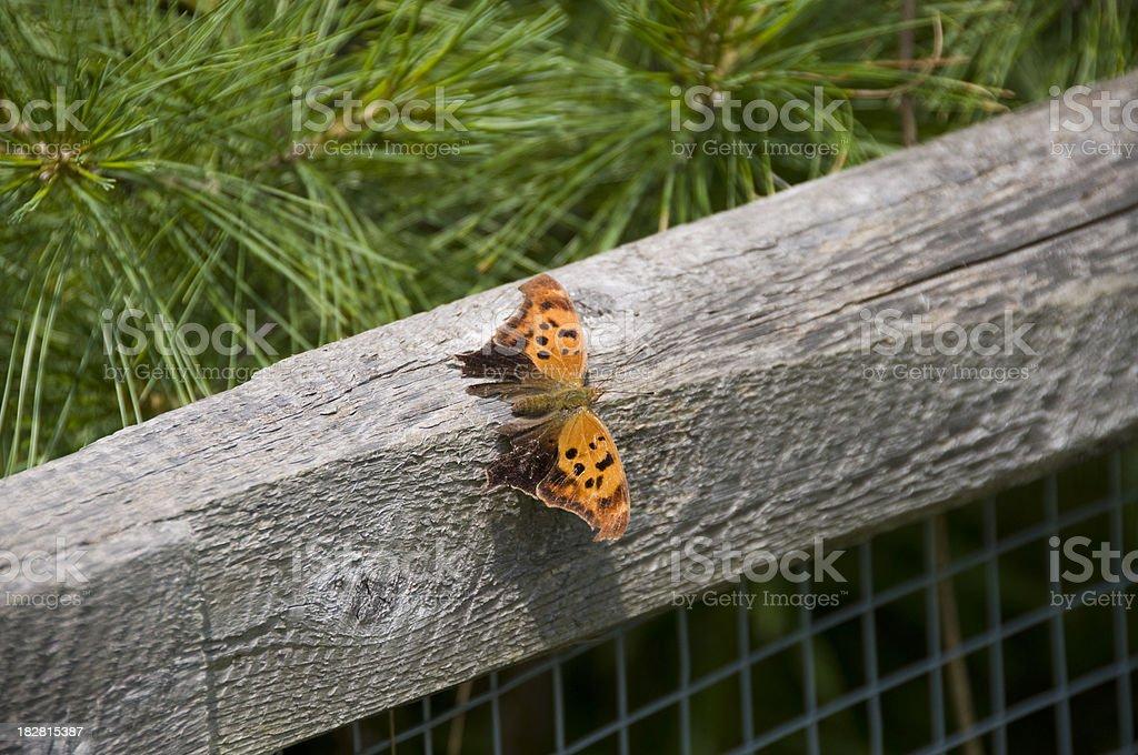 Orange Comma Butterfly stock photo