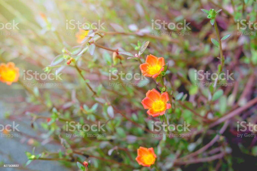 orange common Purslane flower, Pussley, Rose mose, Sun plant stock photo