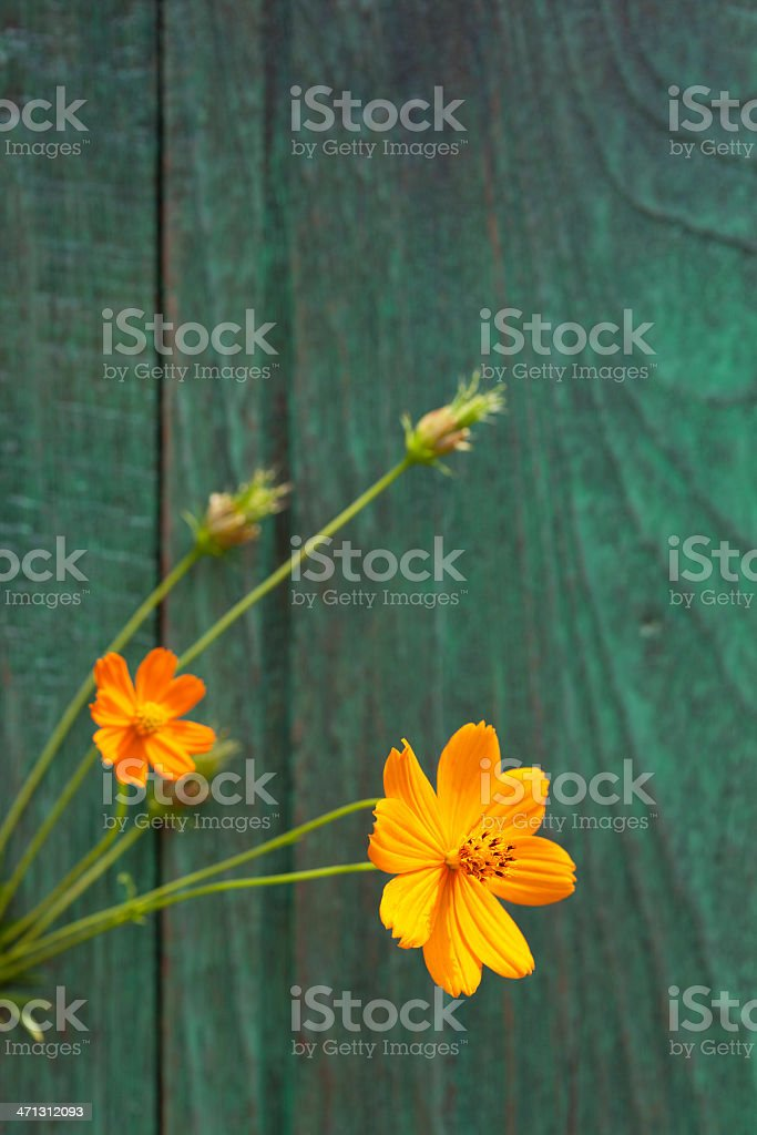 Orange Cosmos flowers and an old wooden fence. royalty-free stock photo