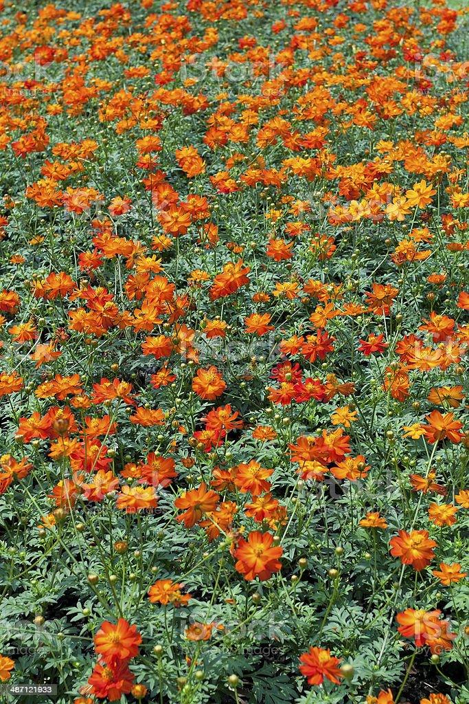 Orange cosmos flowers stock photo