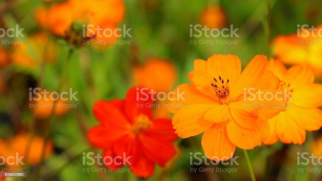 Orange cosmos stock photo