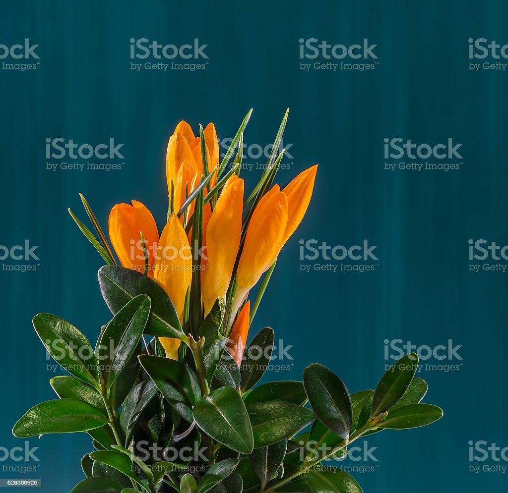 Orange crocus heuffelianus flowers, floral arrangement, bouquet stock photo