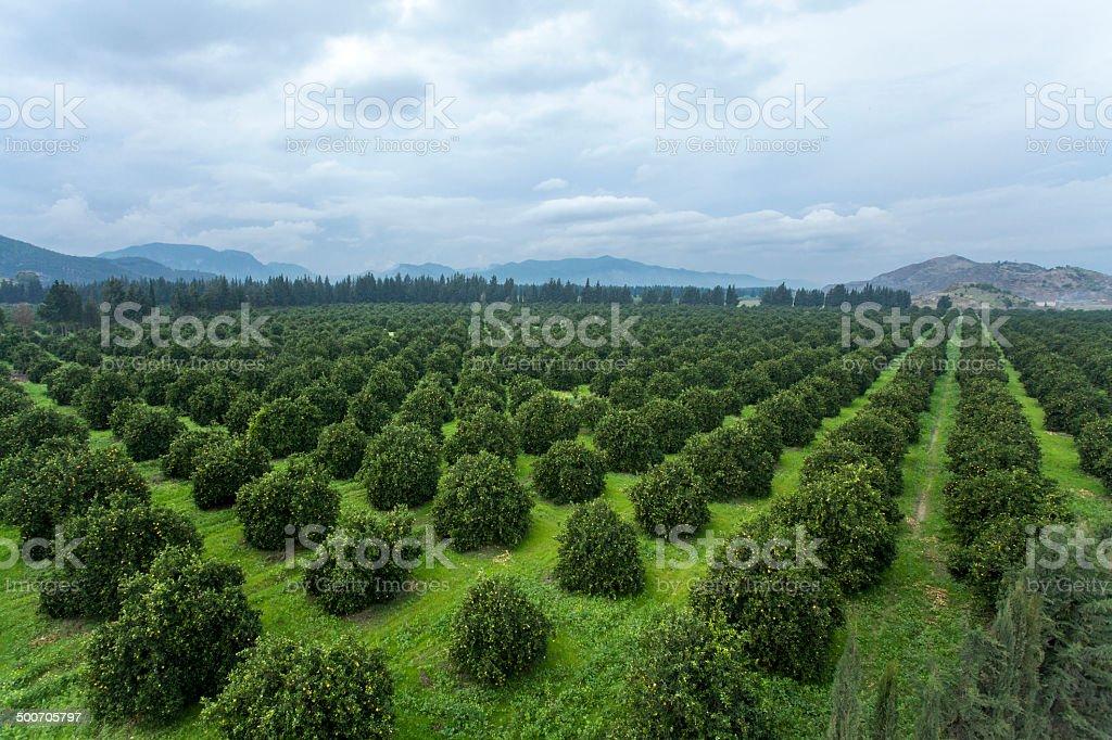 Orange Crop stock photo