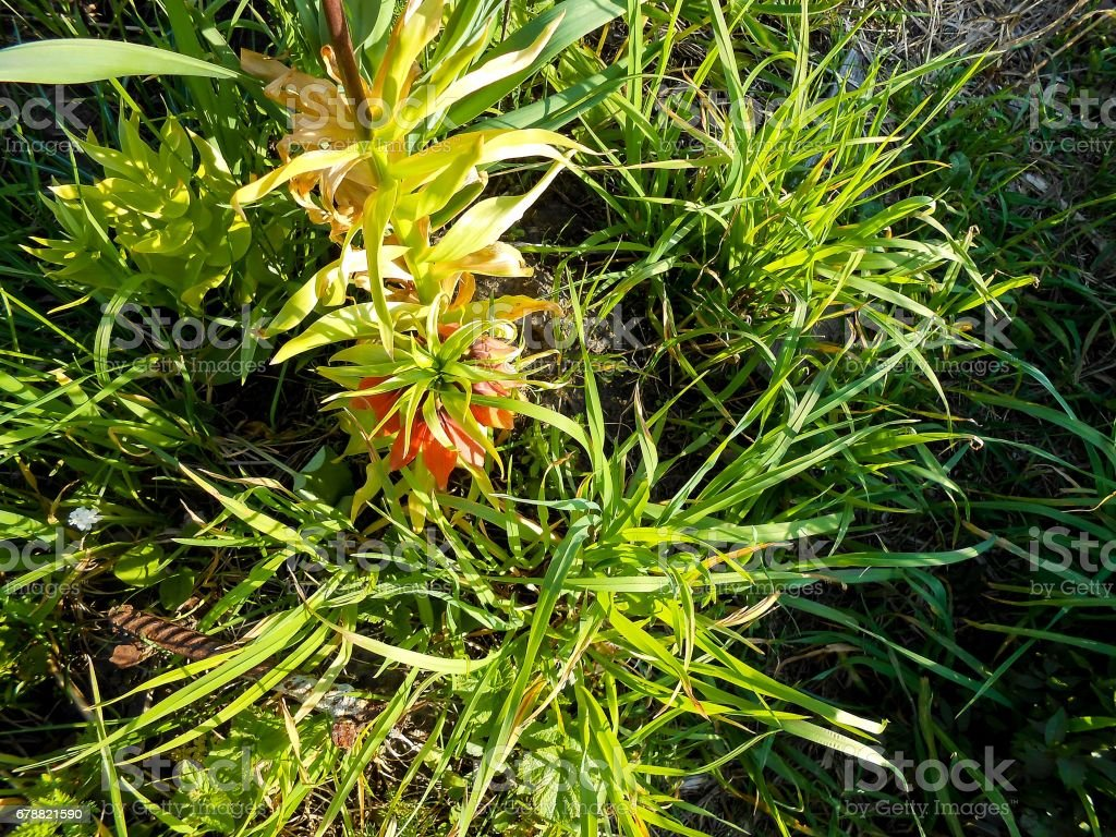 Orange crown imperial flowers (Fritillaria imperialis) outdoor stock photo