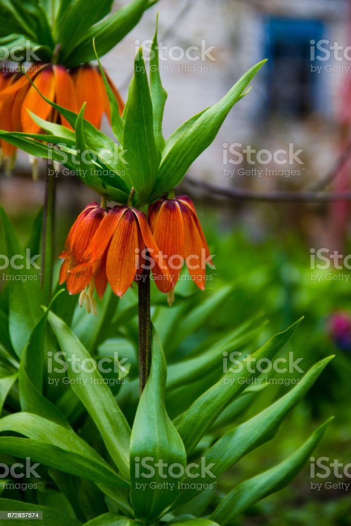 Orange crown imperial lily flowers (fritiallaria imperialis) in garden stock photo