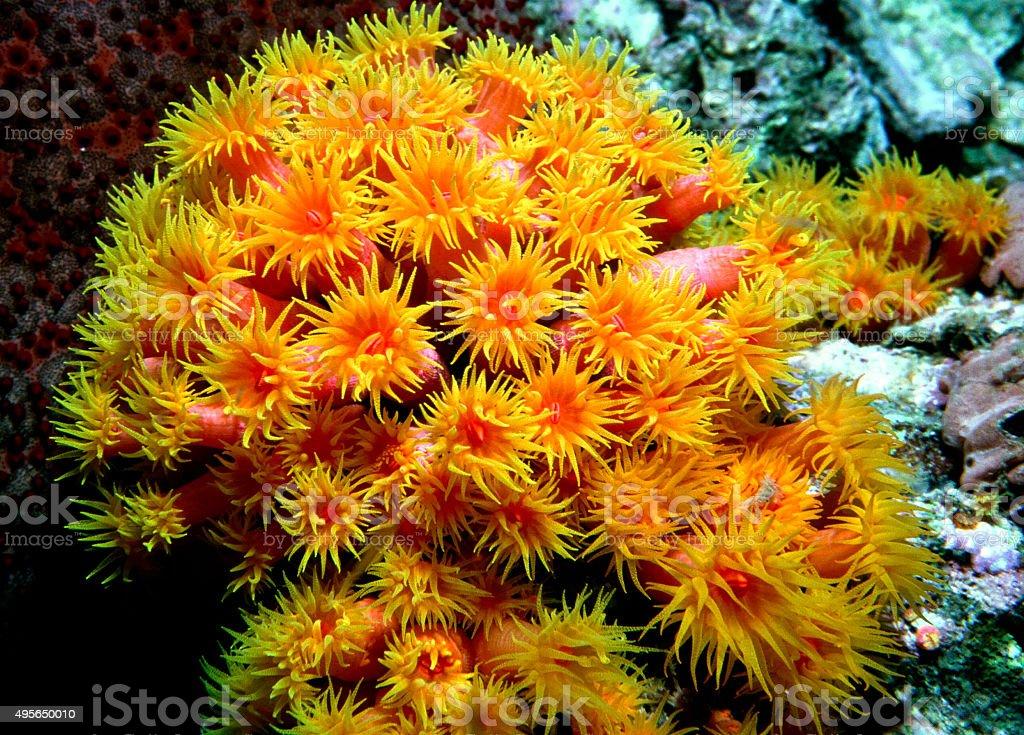 Orange Cup Coral - Myanmar royalty-free stock photo
