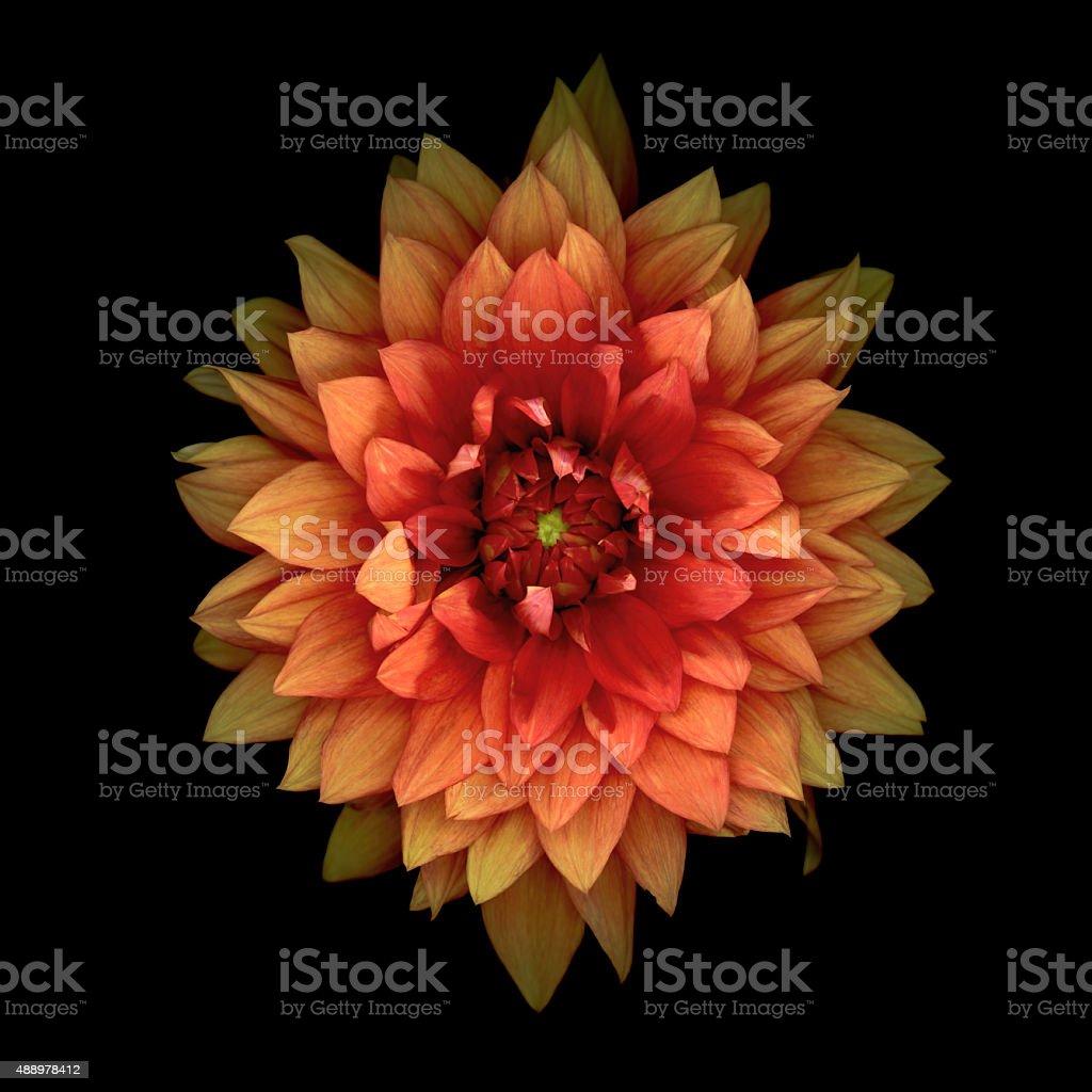 XXXL: Orange dahlia isolated on black stock photo