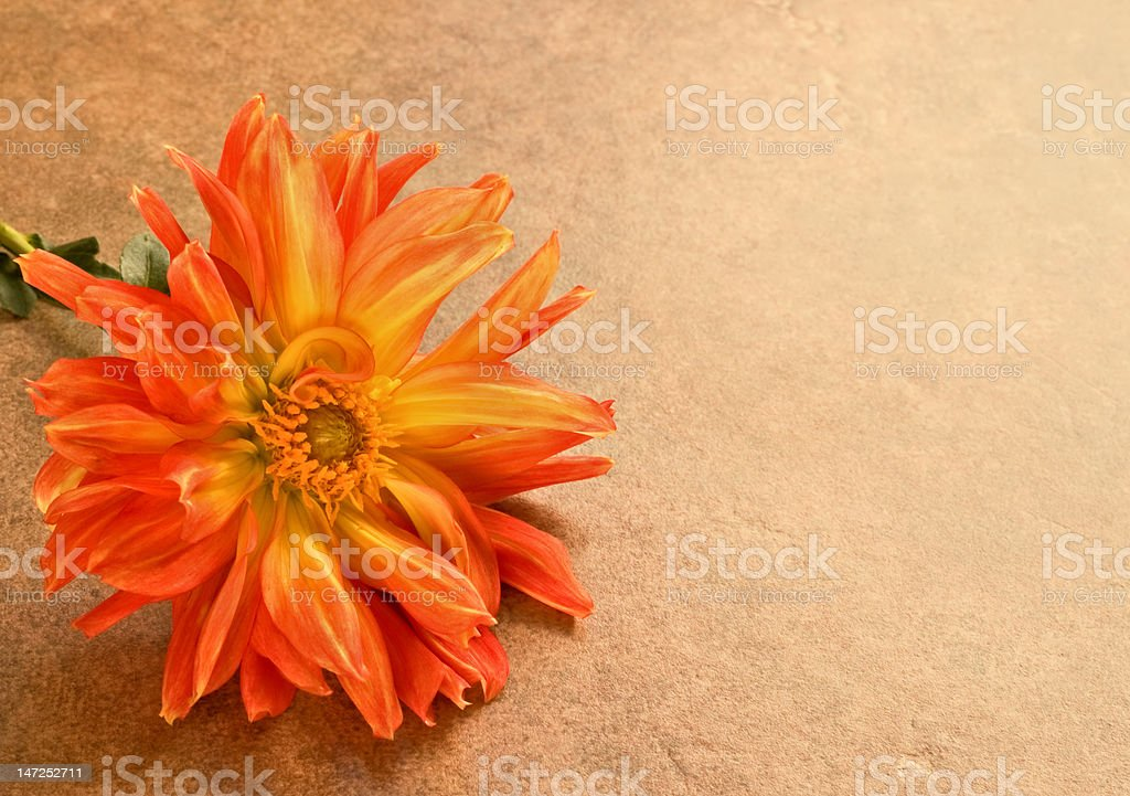 Orange dahlia on brown textured tile with copy space royalty-free stock photo