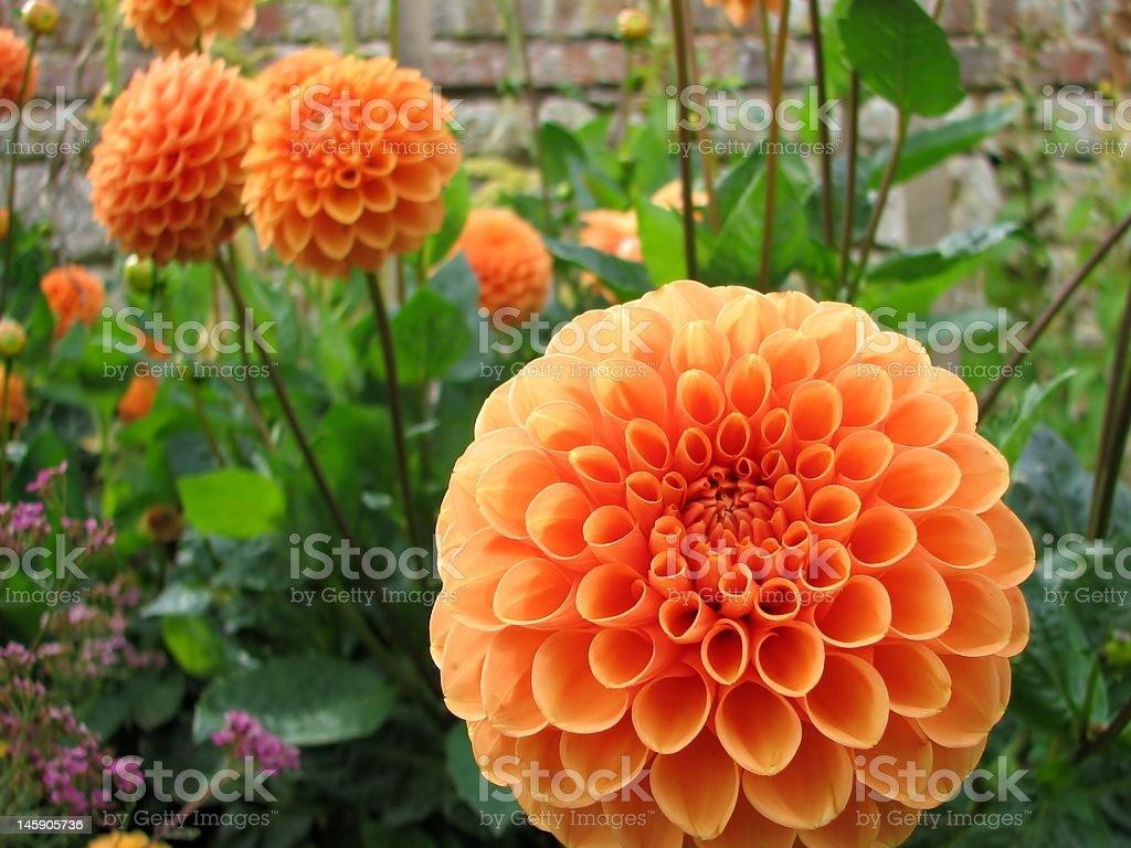 Orange Dahlia stock photo