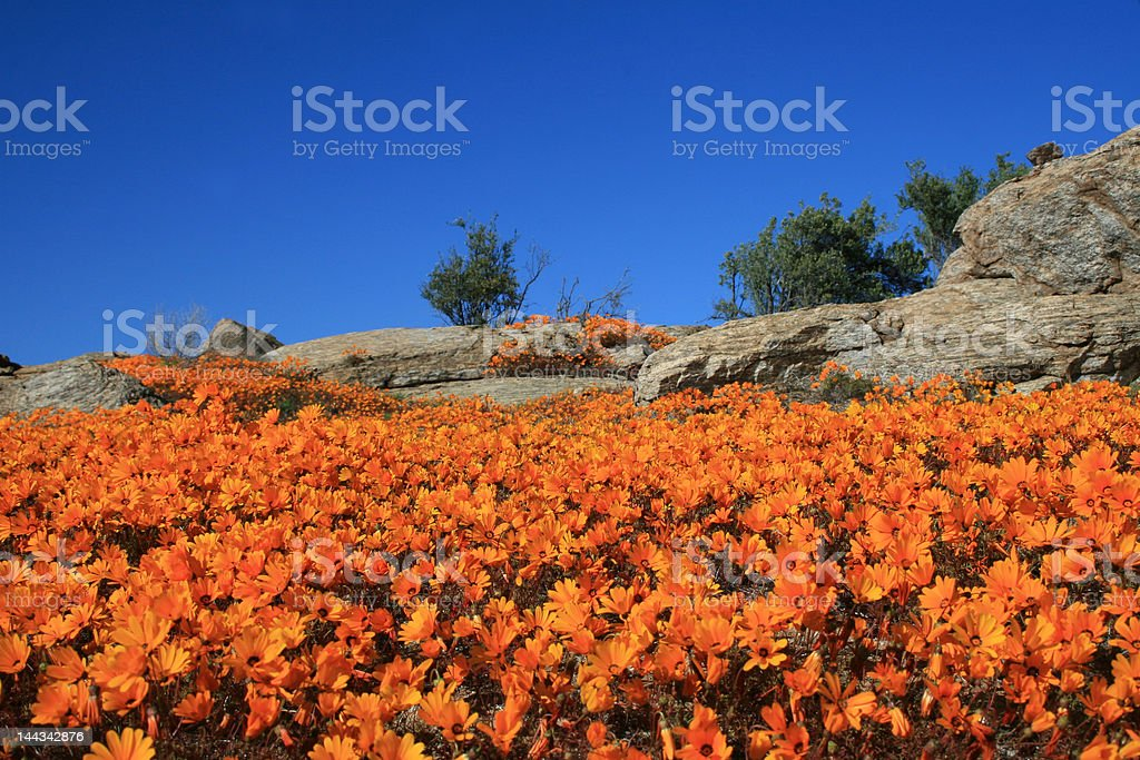 Orange daisies stock photo