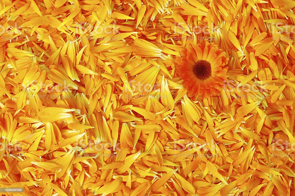 Orange daisy flower royalty-free stock photo