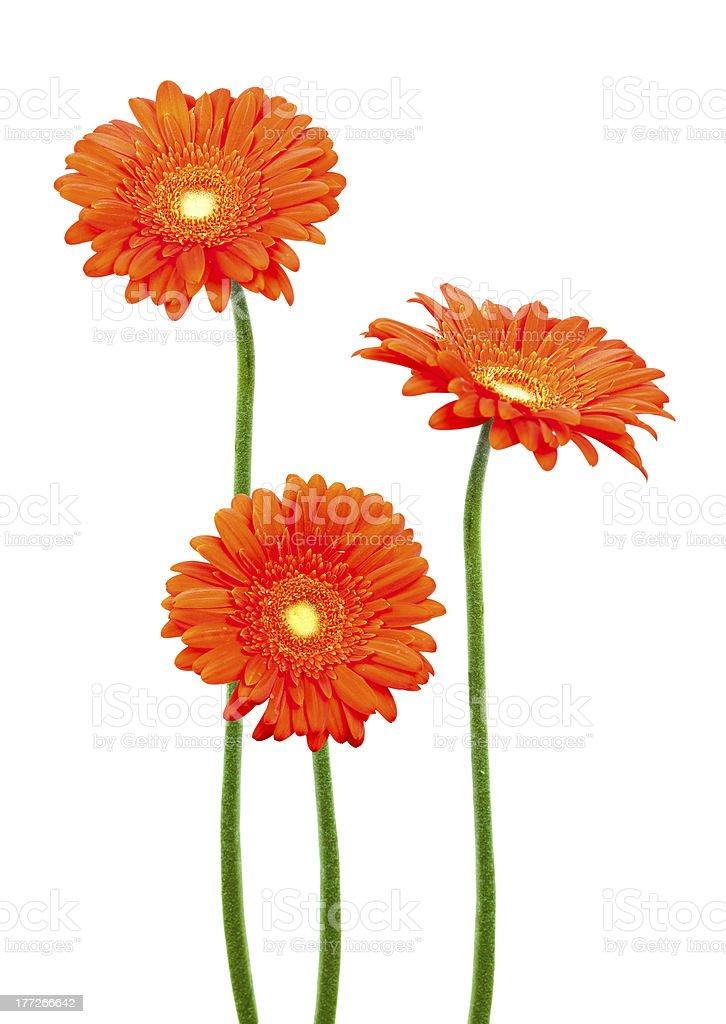 orange daisy gerbera flowers royalty-free stock photo