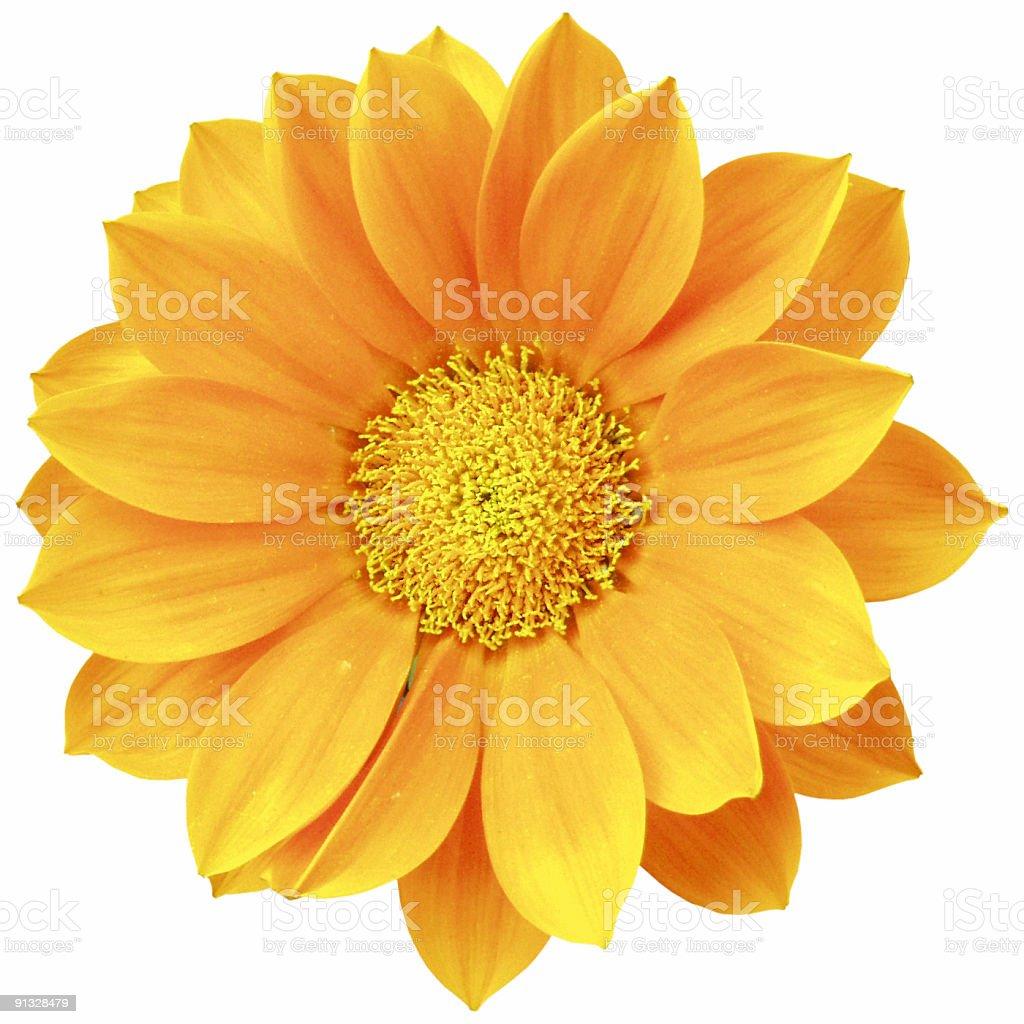 Orange daisy isolated stock photo