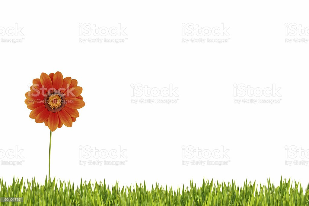Orange daisy on grass XXXL royalty-free stock photo